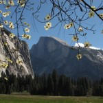 Yosemite's Half Dome with Dogwood Blossoms