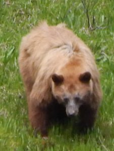 Yosemite Brown Bear