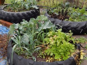 Foreground: Celery and broccoli; rear: various winter greens, including kale and chard
