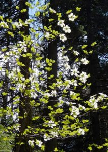 Dogwood, Nelder Grove of Giant Sequoias