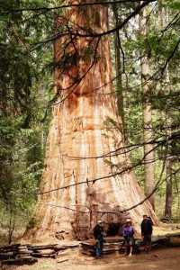 Bull Buck Tree, Nelder Grove of Giant Sequoias