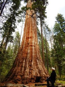 Ira with Bull Buck Tree, Nelder Grove of Giant Sequoias