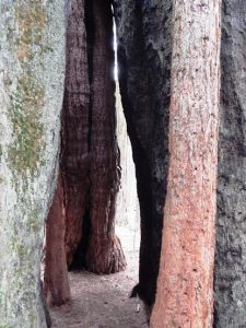 Chimney Tree, Nelder Grove of Giant Sequoias