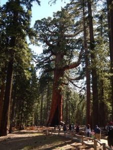 Mariposa Grove: Grizzly Giant