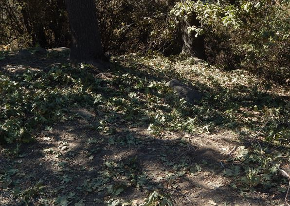 On the ground, was a lot of debris and acorn caps, resulting from the bear's activity aloft.