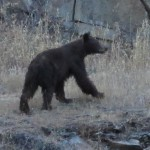 Ferguson Slide Bear 2