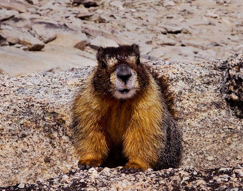 Yellow Bellied Marmot in Yosemite National Park