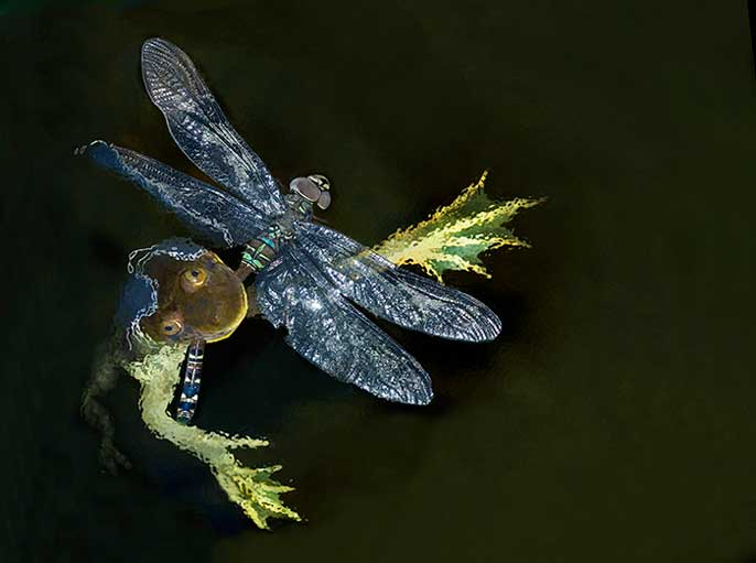 Frog eating Dragonfly