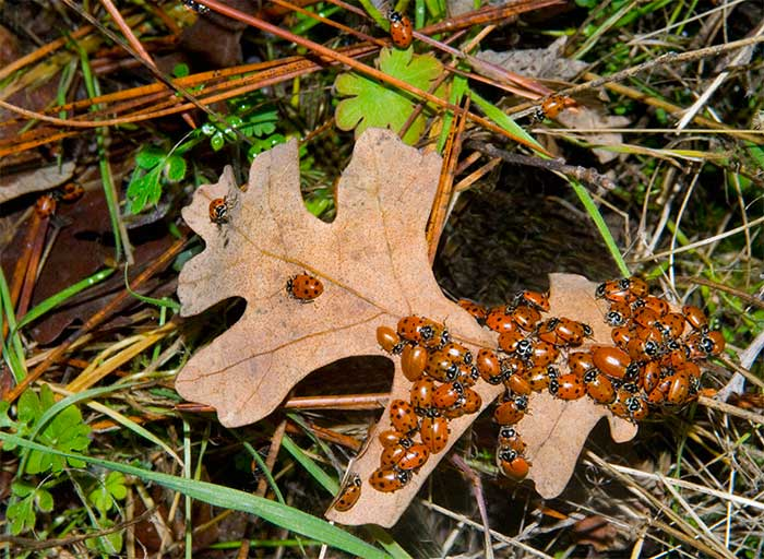 Black Oak leaf and Lady Bird Beetles