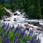 Bush Lupine, Merced River
