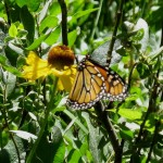 Monarch Butterfly on sub-alpine daisy