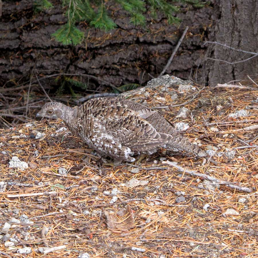 Grouse near Glacier Point